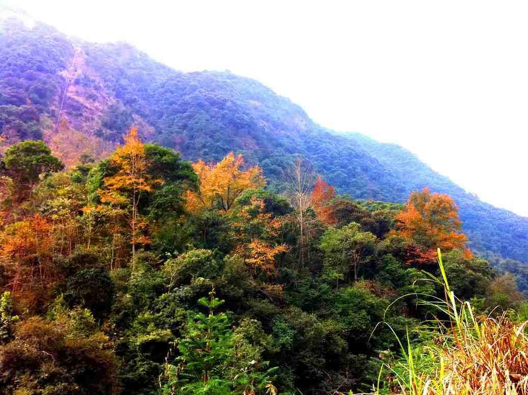 百年枫树林(2011.12.31)图片